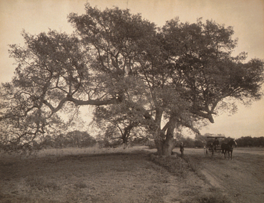 Oak Grove Near Pasadena, California, William Henry Jackson, United States, circa 1900, Ralph M. Parsons Fund