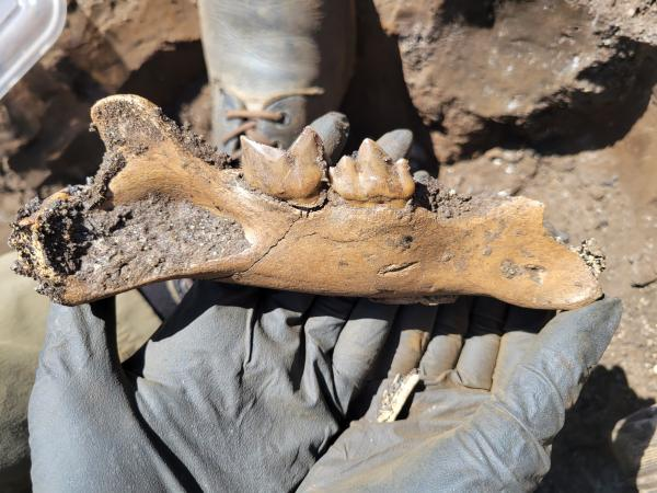 Hands holding a bone fragment with teeth