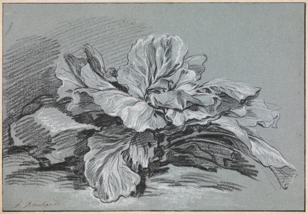 François Boucher, Study of a Cabbage, c. 1735